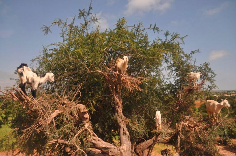 北アフリカに住むヤギはアルガンの実が好物で、身軽に樹に登ってアルガンの実や樹皮、葉も食べる。