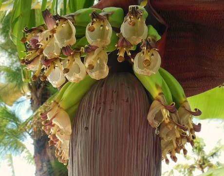 バナナの花 (オーシャンジェットクラブ)